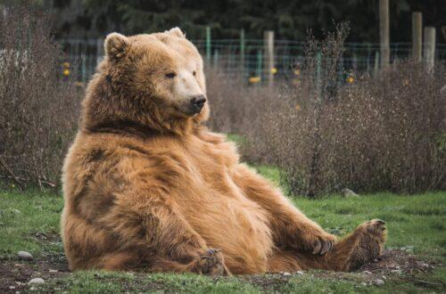דובת חורף בהריון הרה הריון